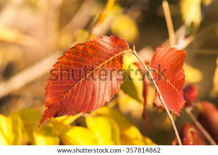 Yellow red leaves on a tree a sunny autumn day - stock photo