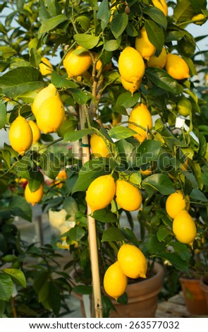 Yellow ripe lemons in the tree with green leaves - stock photo