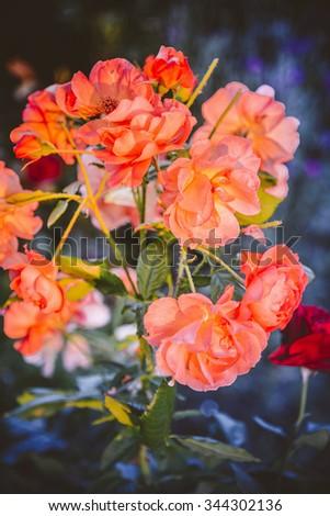Yellow rose bush background. Beautiful fresh wild rose flowers blooming in spring or summer with soft wavy light orange petals/Wild orange rose - stock photo