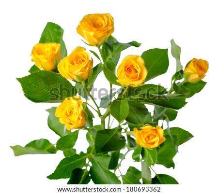 yellow rose bush flowers isolated over white - stock photo