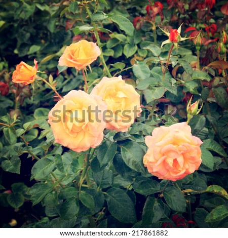 Yellow Rose bush - vintage effect. Blooming roses bunched together - retro filter. Yellow rose background. Flowers. - stock photo