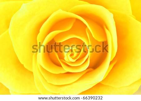Yellow rose close-up - stock photo