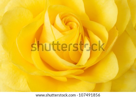 Yellow rose closeup background - stock photo