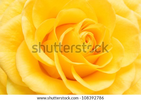 Yellow rose closeup background - stock photo