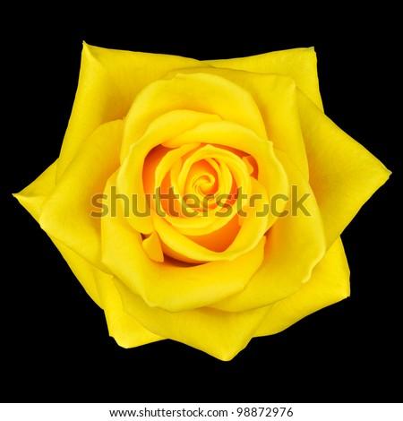 Yellow Rose Flower Isolated on Black Background - stock photo