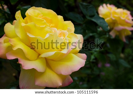 yellow rose in the garden - close up - stock photo