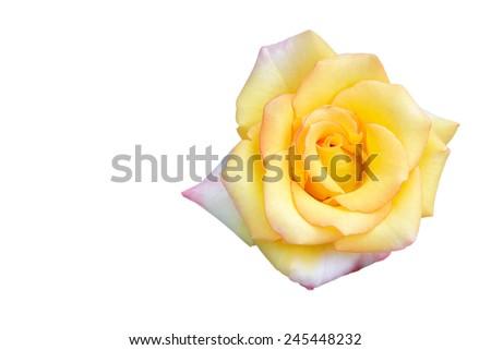 Yellow rose isolated on white background - stock photo