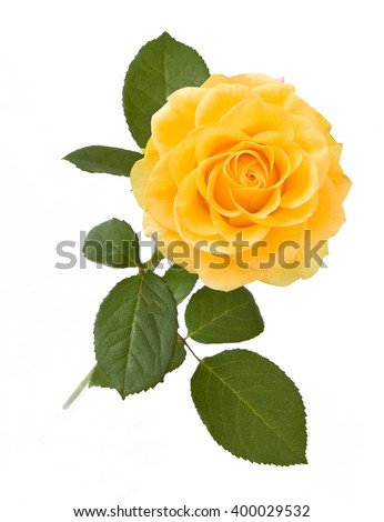 Yellow rose isolated on white background - stock photo