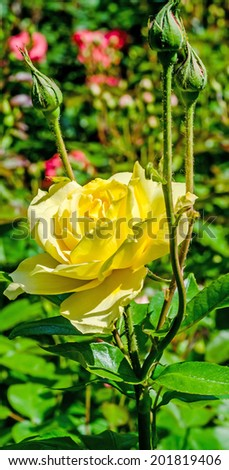 Yellow rose on branch in the garden, close up - stock photo