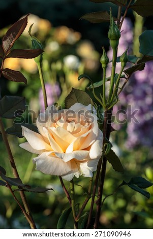 Yellow Rose on the Branch in the Garden - stock photo