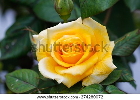 Yellow rose with green background. Some yellow roses in the garden. - stock photo
