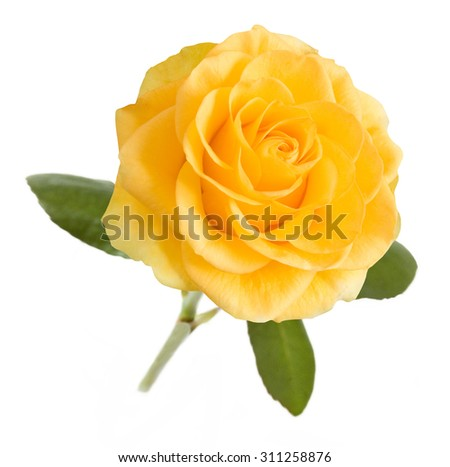 Yellow rose with leaves isolated on white background - stock photo