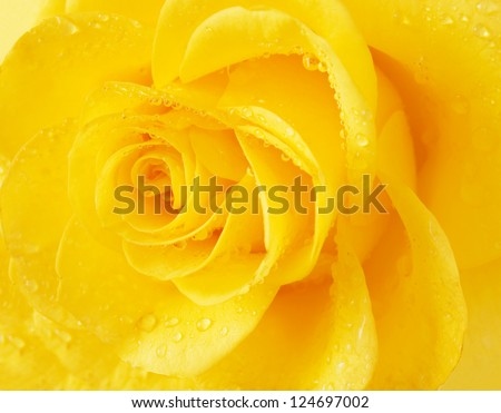 Yellow rose with water drops. Macro - stock photo