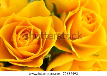 Yellow roses in full frame - stock photo