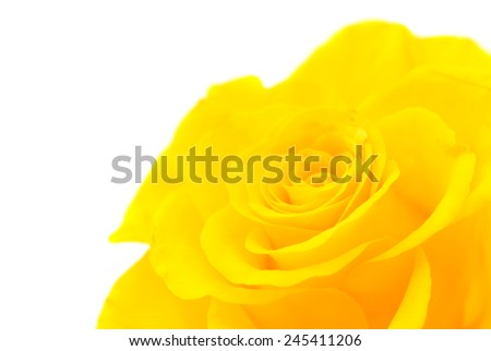 yellow roses on a white background - stock photo