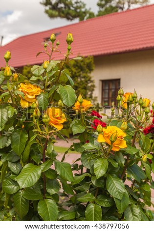 Yellow roses on the background of one-storey house with a tiled roof - stock photo