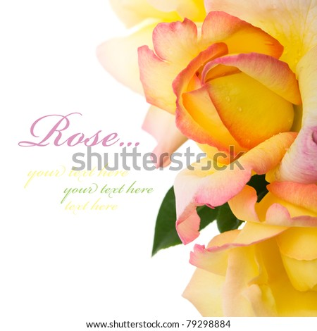 Yellow roses on the white. Isolated with space for text. - stock photo