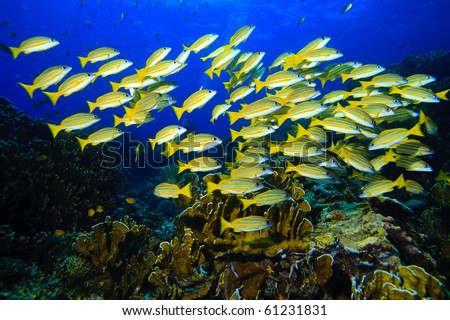 Yellow runner school fish - stock photo
