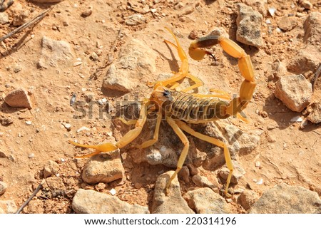 Yellow Scorpion. Close up. Negev desert, Israel - stock photo