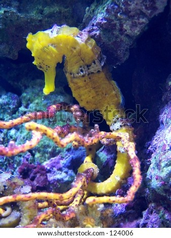 yellow sea horse - stock photo