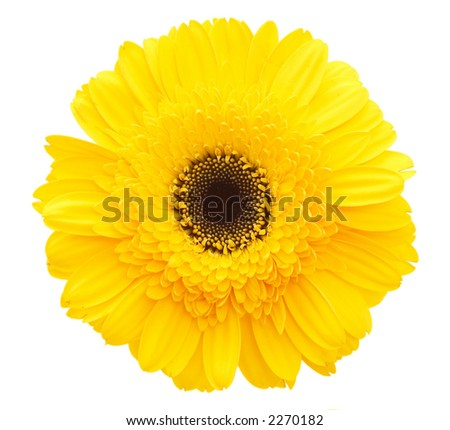 Yellow single daisy flower on white background