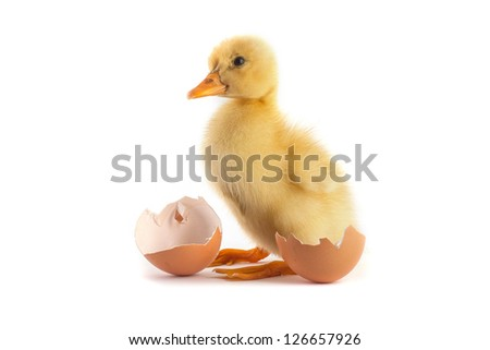 Yellow small duckling with egg isolated on a white background