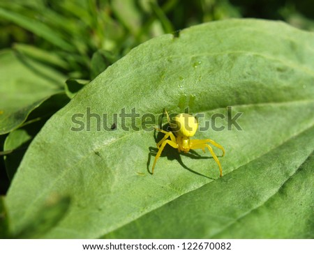 Yellow spider on a plant
