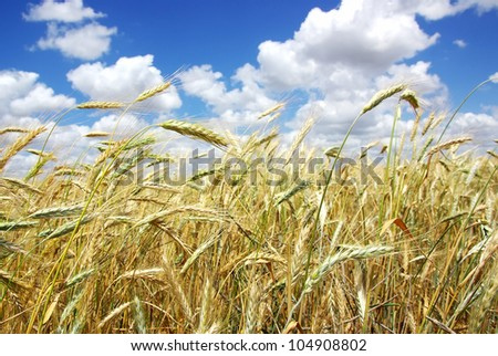 yellow spikes on wheat  field - stock photo