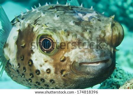 Yellow spotted burrfish. (Cyclithys spilostylus) - stock photo