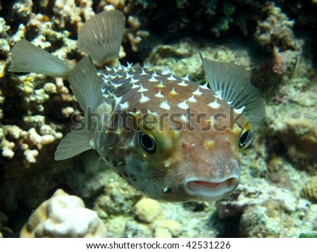 Yellow spotted burrfish. (Cyclithys spilostylus)