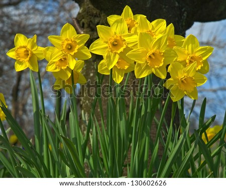 Yellow Spring Daffodil (Narcissus) flowers - stock photo