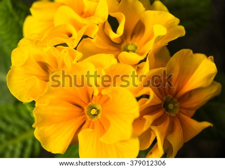 yellow spring flowers closeup