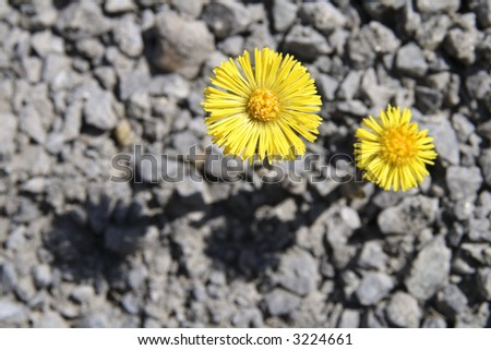 Yellow spring flowers with a gray gravel background