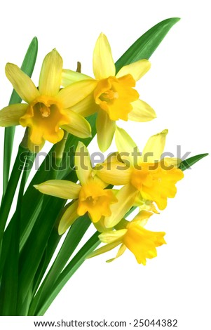 Yellow spring narcissus - stock photo