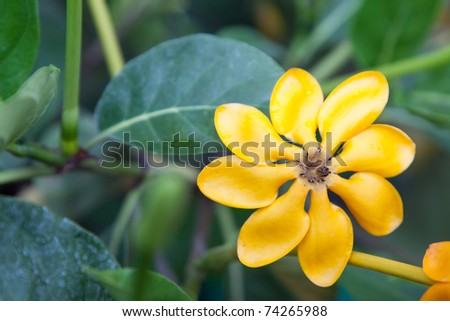 Yellow star flower, Ayutthaya Thailand - stock photo