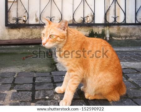 yellow stripe cat - stock photo