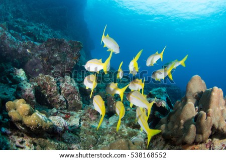 Yellow-stripe scad