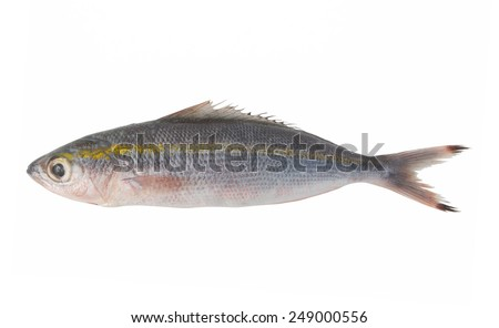 Yellow striped fish isolated on white
