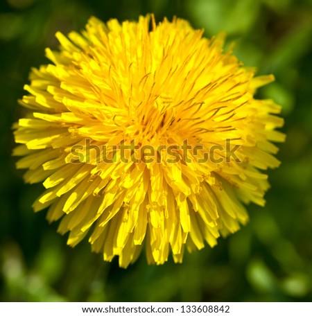 Yellow summer dandelion - macro shot - stock photo