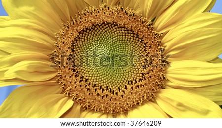 Yellow sunflower - stock photo