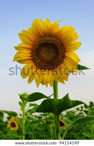 yellow sunflower and seeds