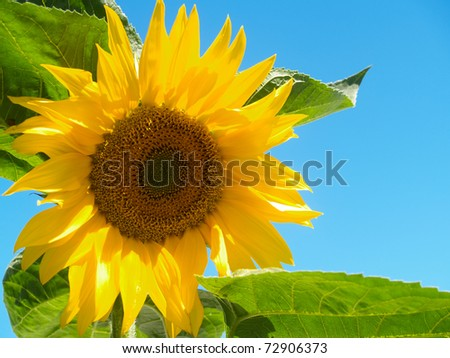 Yellow sunflower bloom, close up, against blue sky. - stock photo