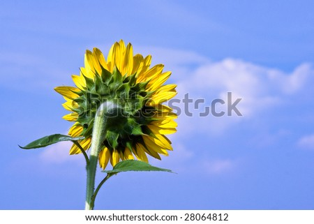 Yellow sunflower from behind - stock photo