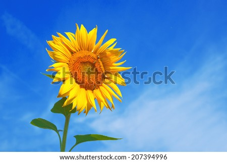 Yellow sunflower growing in cultivated agricultural field.