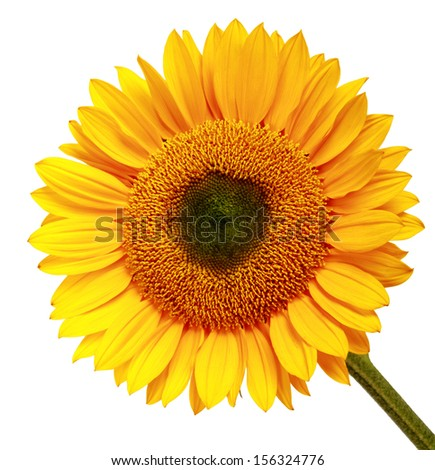 Yellow sunflower isolated over white background