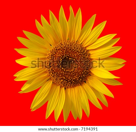 Yellow sunflower on red background
