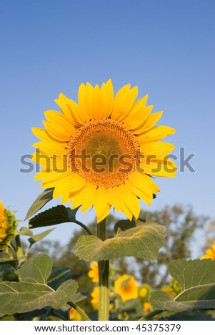 Yellow sunflower on the field behind blue sky - stock photo