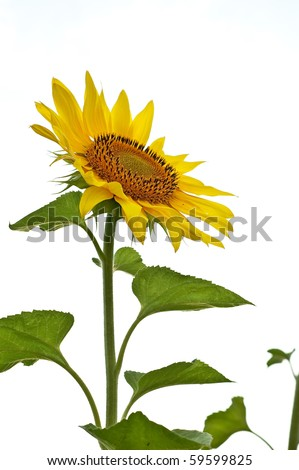 yellow sunflower sun flower head plant summer - stock photo