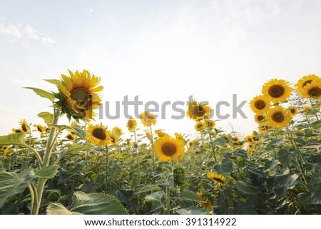 yellow sunflowers field - stock photo