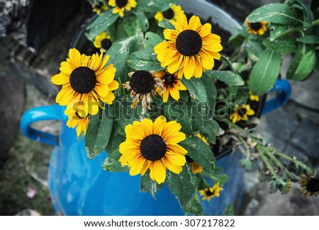 Yellow sunflowers in the metal blue pot. Summer natural theme. - stock photo